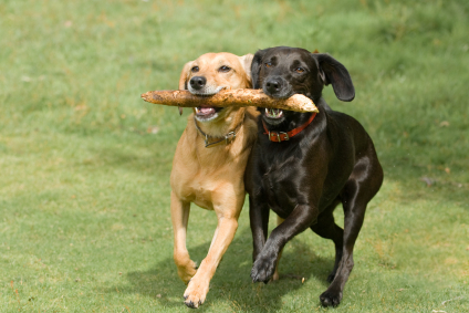 Two dogs carrying a stick together - black lab and yello lab